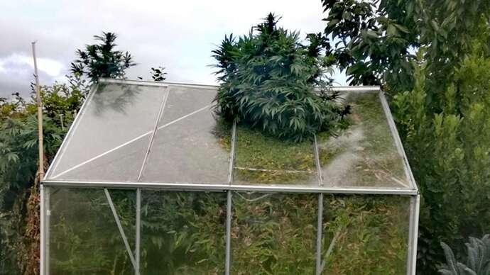 1110338091-die-cannabis-pflanzen-des-mannes-haben-eine-erstaunliche-groesse-von-60-metern-erreicht-2L7a