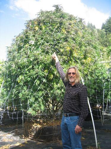 cannabis-767x1024