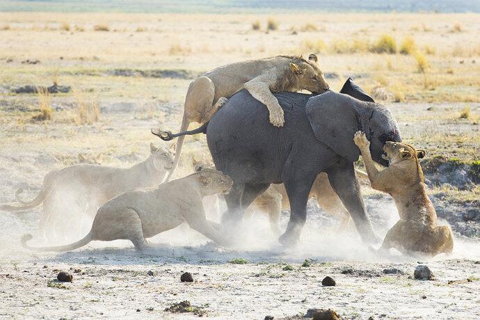 lions-hunting-elephant